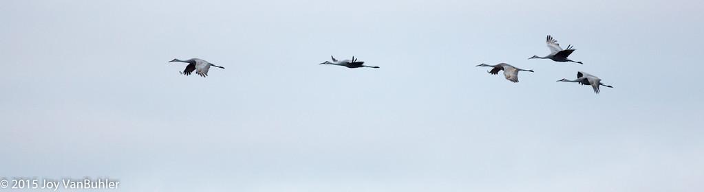 303/365 - Sandhill Cranes